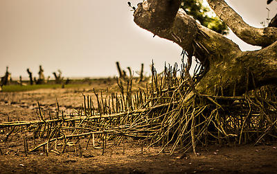 Mangrove Plantation in Odisha - Royalty free stock photo, image