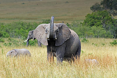 African Elephant - Royalty free stock photo, image