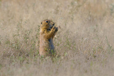 Prairie Dog - Royalty free stock photo, image