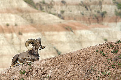 Bighorn Sheep - Royalty free stock photo, image