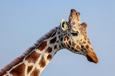 Giraffe - Royalty free stock photo, image