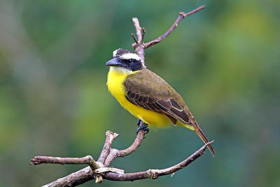 Boat-billed Flycatcher - Royalty free stock photo, image