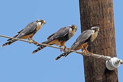 Aplomado Falcon - Royalty free stock photo, image