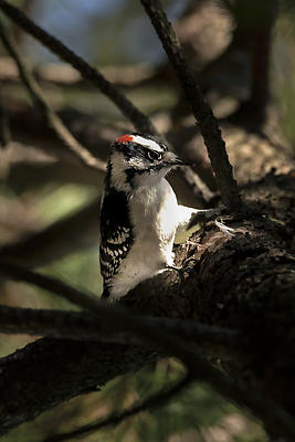 Downy Woodpecker - Royalty free stock photo, image