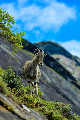 NIGIRI TAHR - Royalty free stock photo, image