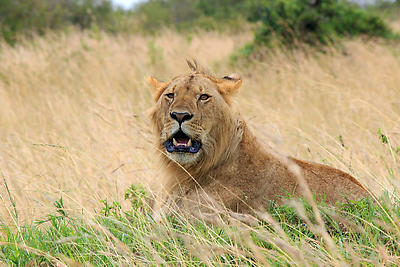 Lion - Royalty free stock photo, image