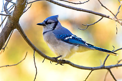 Blue Jay - Royalty free stock photo, image