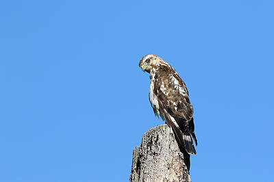 Red-tailed Hawk - Royalty free stock photo, image