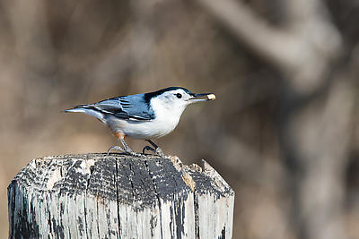 White-breasted Nuthatch - Royalty free stock photo, image