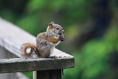 hungry squirrel - Royalty free stock photo, image
