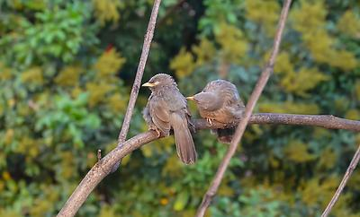 Jungle Babbler - Royalty free stock photo, image