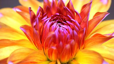 Flower - Royalty free stock photo, image