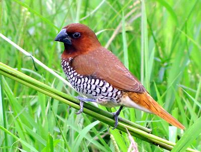 Scaly-breasted Munia - Royalty free stock photo, image