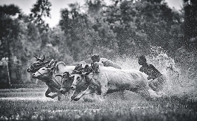 Raging Bulls - Royalty free stock photo, image