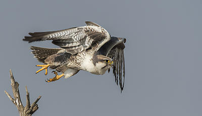 Laggar Falcon - Royalty free stock photo, image