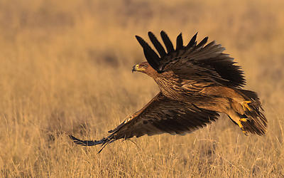 Eastern Imperial Eagle - Royalty free stock photo, image