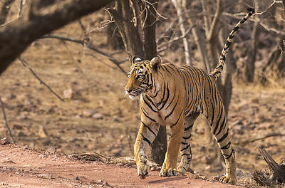 Tigress T83 Lightning - Royalty free stock photo, image