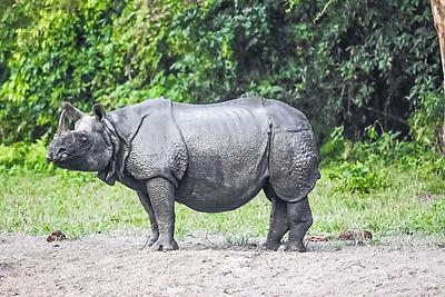 Indian rhinoceros - Royalty free stock photo, image