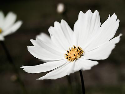 White Cosmos Flower - Royalty free stock photo, image
