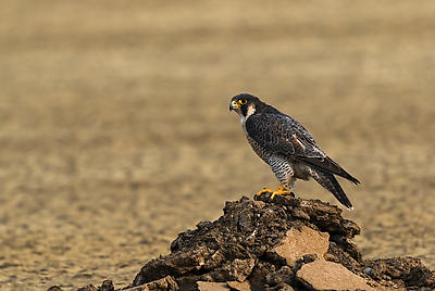 Peregrine falcon - Royalty free stock photo, image