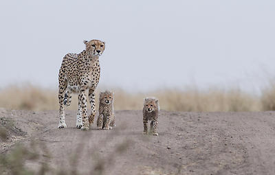 Cheetah family - Royalty free stock photo, image