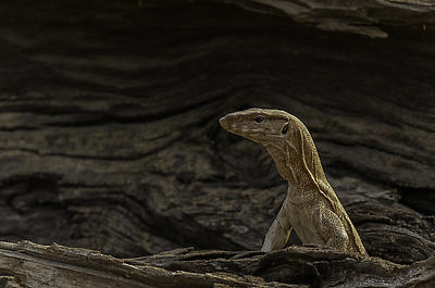 Monitor Lizard - Royalty free stock photo, image