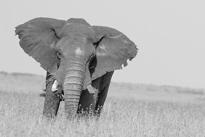 Male Elephant - Royalty free stock photo, image
