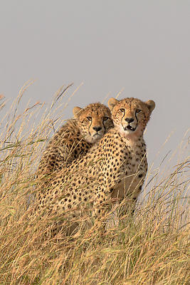 Cheetah brothers - Royalty free stock photo, image