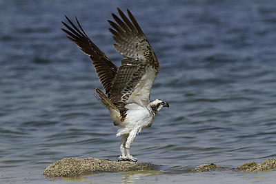Osprey - Royalty free stock photo, image