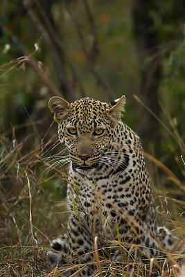 Leopard - Royalty free stock photo, image