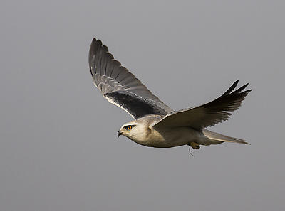 Black Winged Kite - Royalty free stock photo, image