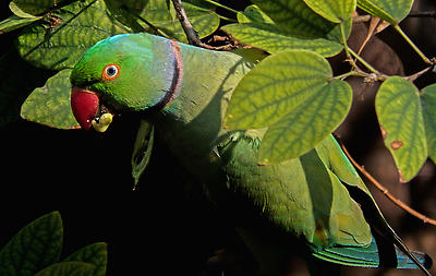 PARROT  - Royalty free stock photo, image