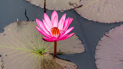 Lotus - Royalty free stock photo, image
