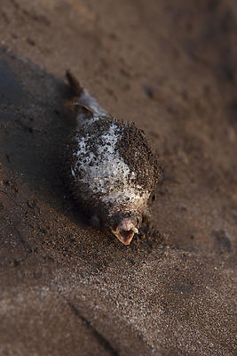 The Dead blow fish - Royalty free stock photo, image