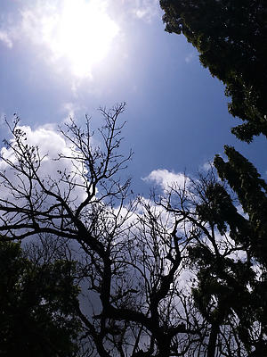 Silhouette of Tree against clear skies and white clouds - Royalty free stock photo, image