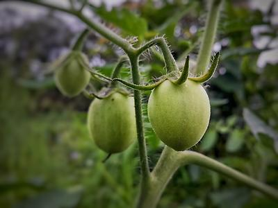 Closeup of tomato in farm - Royalty free stock photo, image