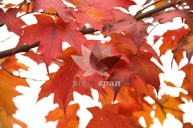 Amazing Fall Colors - Royalty free stock photo, image