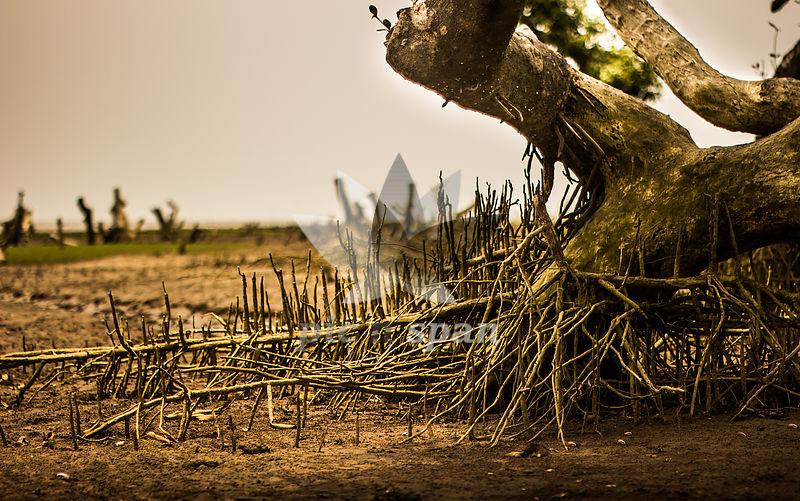 Mangrove Plantation in Odisha - Royalty free stock photo, image