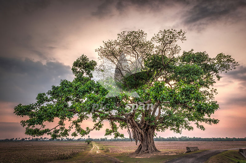 The Lone Tree - Royalty free stock photo, image