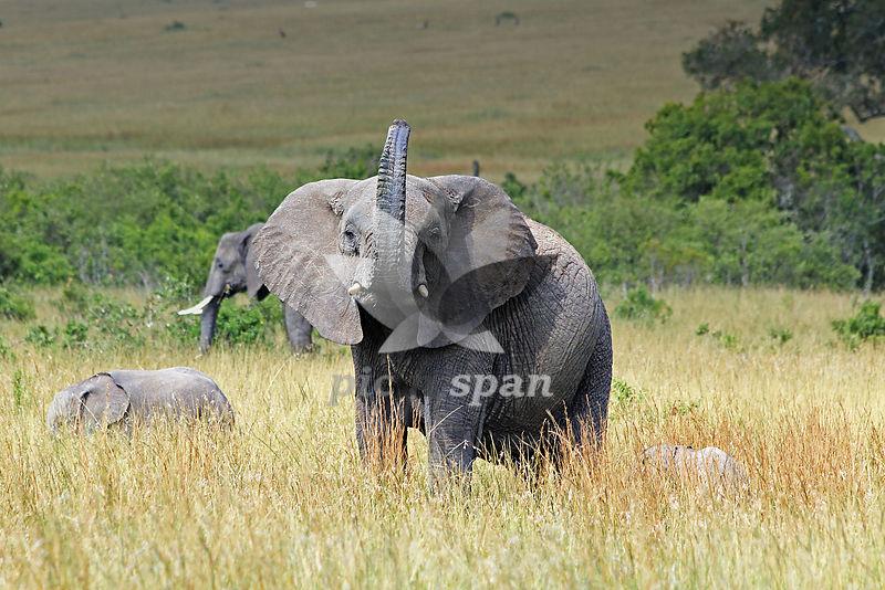 African Elephant - Royalty free stock photo, image