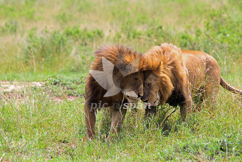 Playful Lions - Royalty free stock photo, image