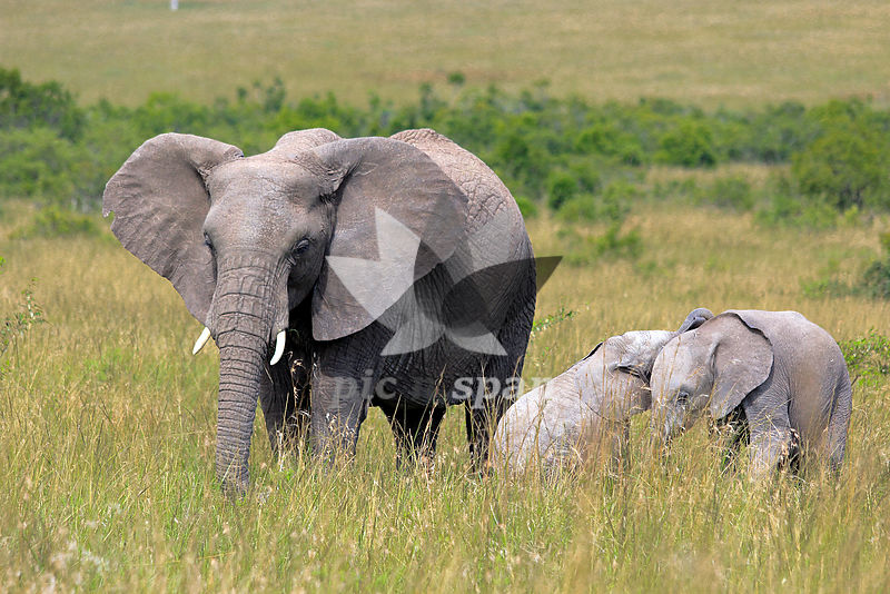 Elephant - Royalty free stock photo, image