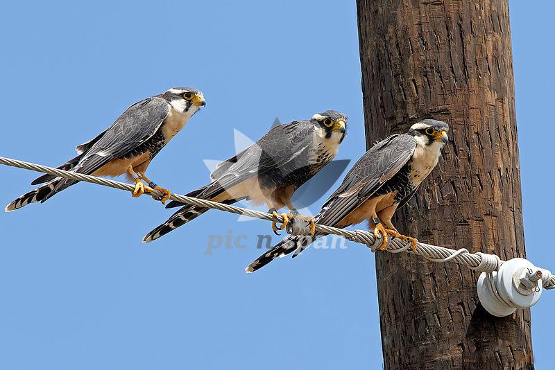 Aplomado Falcon - Royalty free stock photo, image