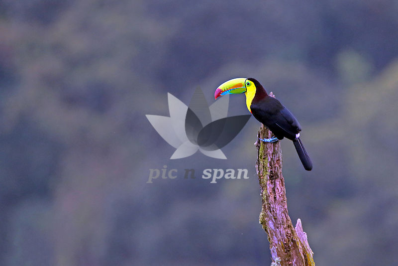 Keel-billed Toucan - Royalty free stock photo, image