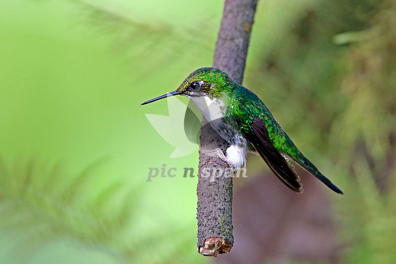Booted-racket Tail - Royalty free stock photo, image