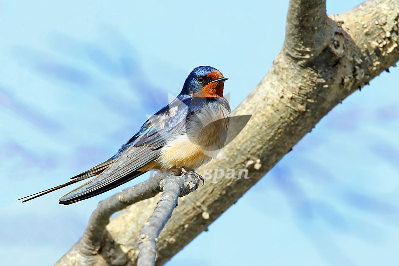 Barn Swallow - Royalty free stock photo, image