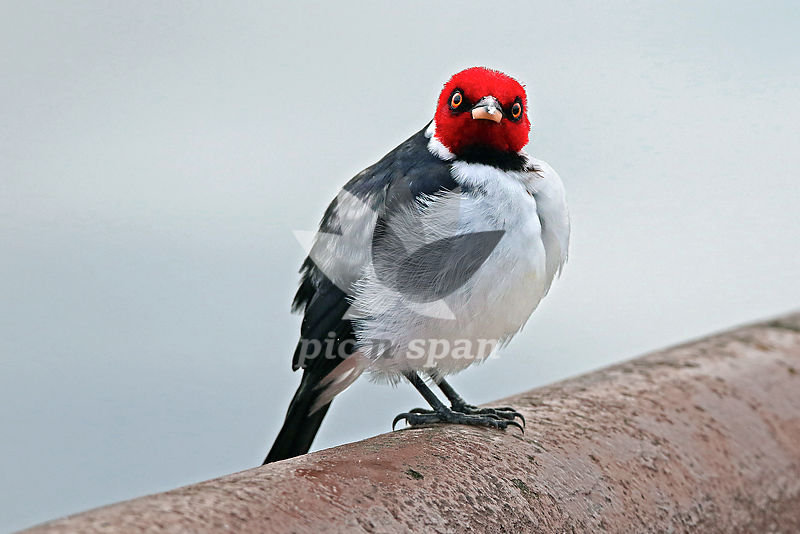 Red-capped Cardinal - Royalty free stock photo, image