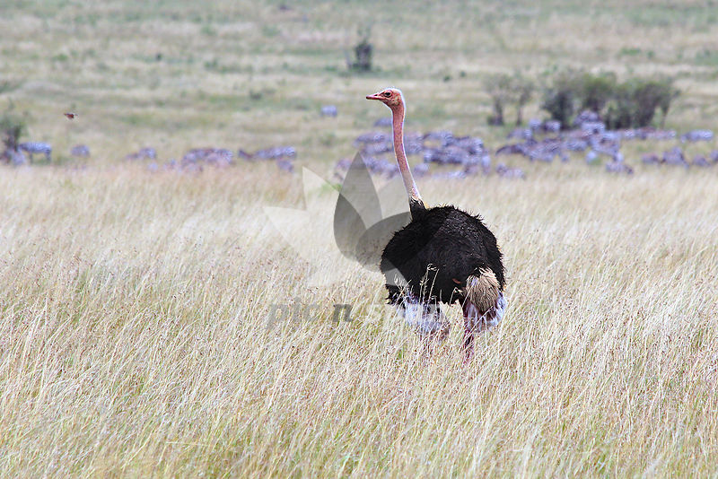 Ostrich - Royalty free stock photo, image
