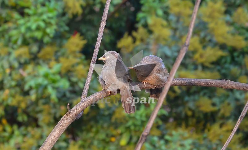 Jungle Babbler - Royalty free stock photo, image