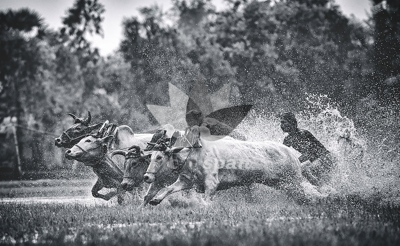 Raging Bulls - Royalty free stock photo, image